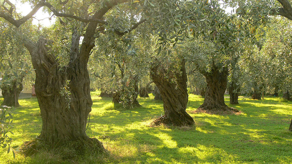 Old World Olive Trees used for IL DIVINO Extra Virgin Olive Oil